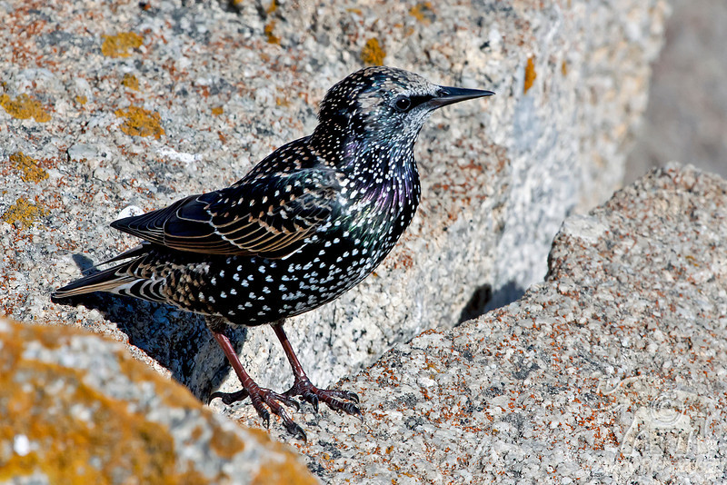 Starling ~ Monterey Coast ~ California