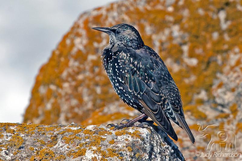Starling ~ Monterey Coast ~ California