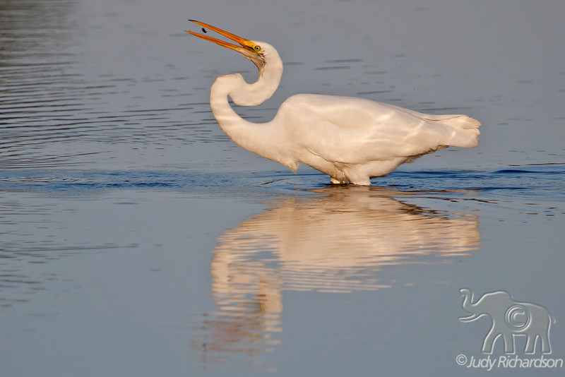 Great Egret with fish ~ Chincoteague, Virginia