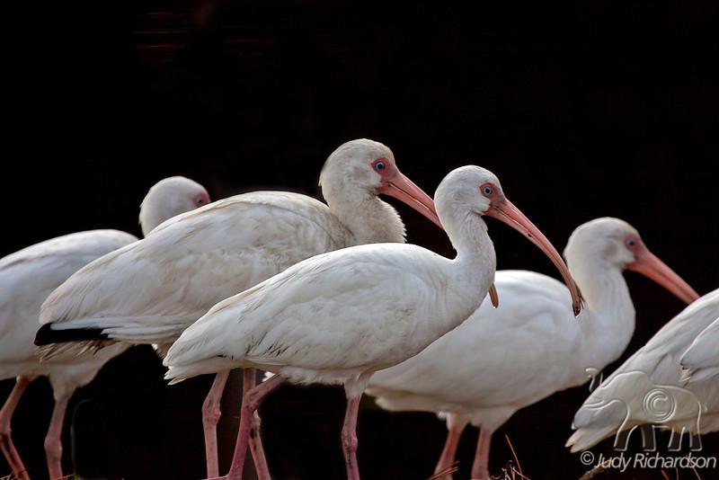 White Ibis group ~ Sea Pines Golf Course ~ Hilton Head, South Carolina