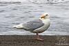 Glaucous-winged Gull ~ Kenai Peninsula, Alaska