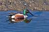 Northern Shoveler ~ Bolsa Chica Ecological Reserve ~ Huntington Beach, California