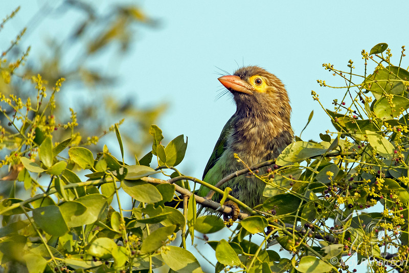 Brown-headed Barbet, India