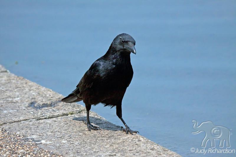 Carrion Crow ~ Kensington Gardens~ London, England
