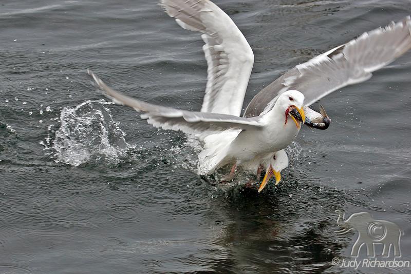 Glaucous-winged Gull ~ Fighting for dinner ~ Homer, Alaska