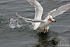 Glaucous-winged Gull ~ Fighting for dinner ~ Homer, Alaska