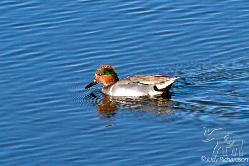 Green-winged Teal ~ Upper Newport Bay Ecological Reserve ~ Newport Beach, California