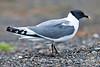 Sabine's Gull ~ Barrow, Alaska