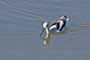 American Avocet ~ Harkins Slough ~ Monterey, California