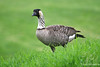 Nene Goose ~ Hawai'i State bird ~ Big Island Country Club ~ Hawai'i