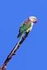 Alexandrine Parakeet, India