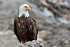 Bald Eagle ~ Homer, Alaska