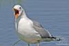 Mew Gull ~ Alaska