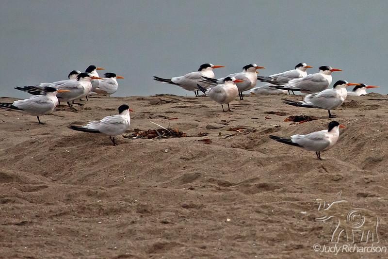Elegant and Royal Terns ~ Seacliff State Beach, Aptos, California