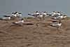 Elegant and Royal Terns ~ Seacliff State Beach, Aptos, California