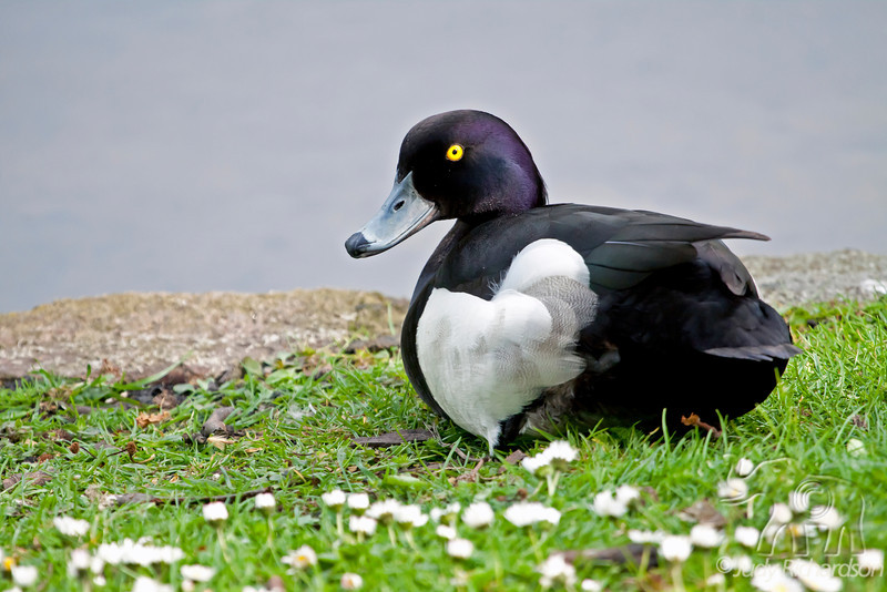 Tufted Duck ~ Green Park ~ London, England