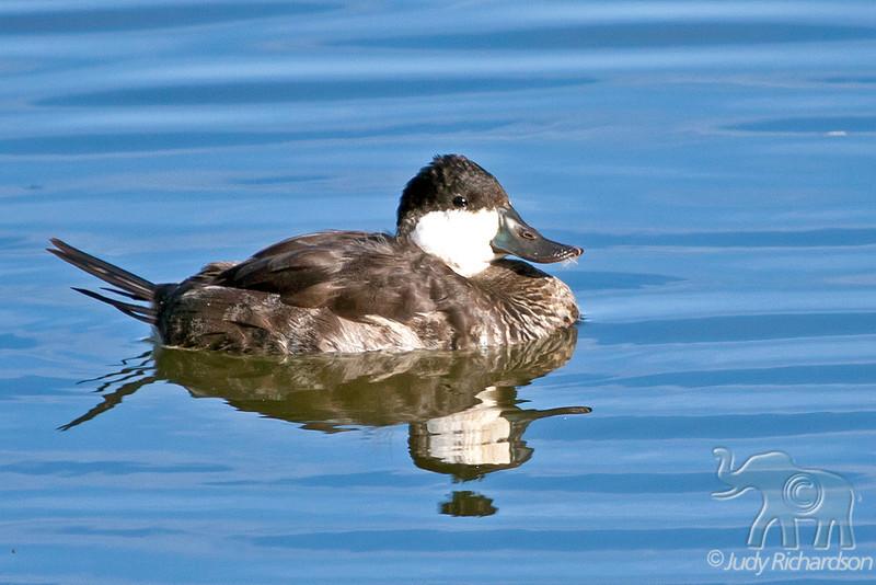 Ruddy Duck ~ Bolsa Chica Ecological Reserve ~ Huntington Beach, California