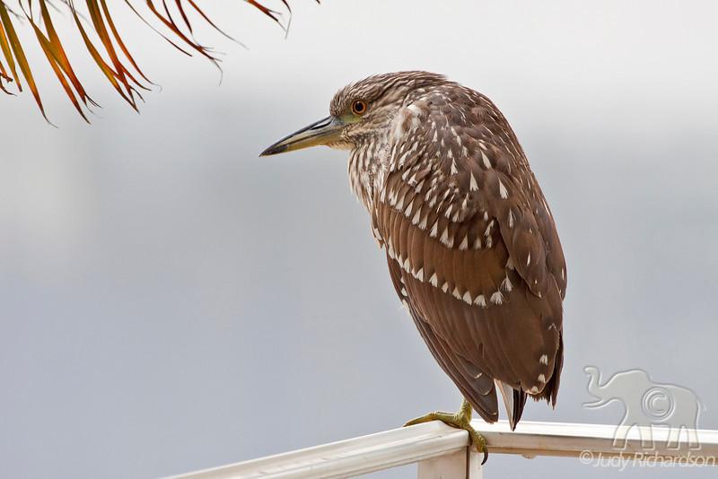 Black-crowned Night Heron ~ Immature ~ Enchanted Lake ~ Kailua, Hawai'i