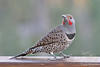 Northern Flicker ~ Bend, Oregon