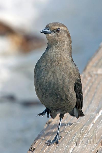 Brewer's Blackbird Female ~ 17 mile Drive, Carmel, California