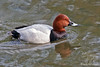 Common Pochard ~ Green Park ~ London, England