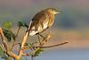 Pond Heron, India