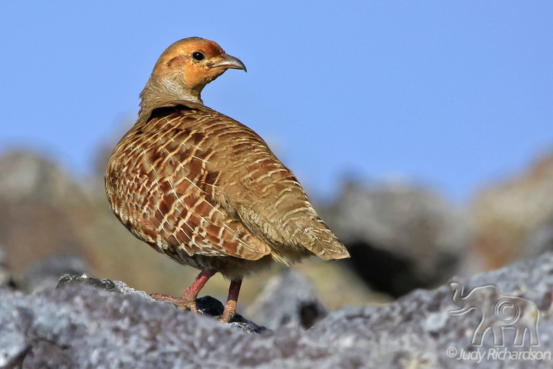 Gray Francolin ~ Hualalai Resort ~ Big Island, Hawai'i