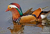 Mandarin Duck - Male ~ Kensington Gardens~ London, England