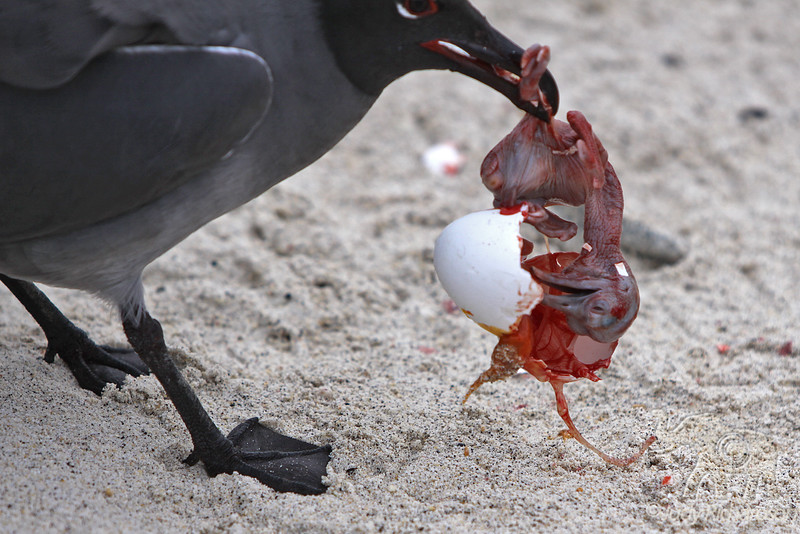 """Swallow-tailed Gull eating egg ~ """"Circle of Life"""""""