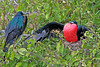 2 Frigatebirds with one on nest