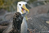 Waved Albatross Feeding Chick on Espanola