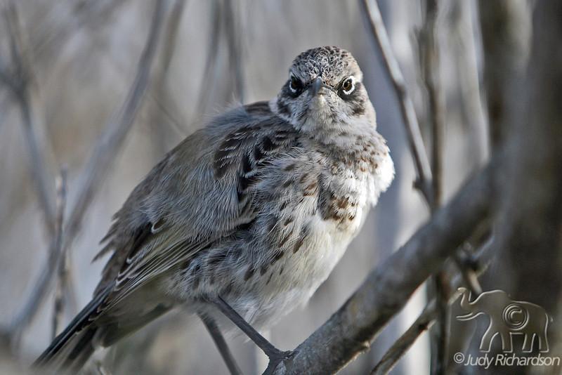 Mockingbird on Espanola