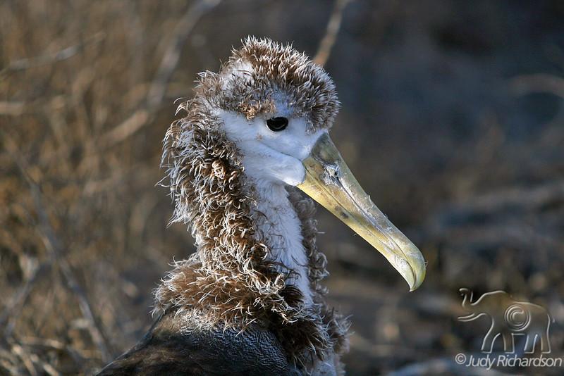Waved Albatross Chick