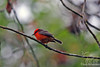 Vermillion Flycatcher on Santa Cruz