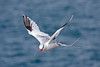 Red-billed Tropic Bird on South Plaza