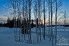 Birch & Evening Glow Sunset ~ Fairbanks, Alaska