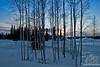 Birch & Evening Glow Sunset ~ Fairbanks, Alaska