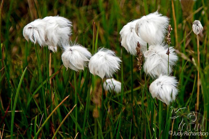 Alaska Cotton in Barrow