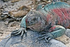 Land Iguana on Espanola Island, Galapagos, Ecuador
