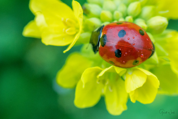 Closeup of red ladybug on yellow flowers