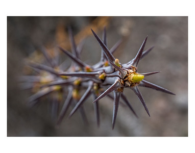 Ocotillo cactus plant in Anza Borrego Desert State Park