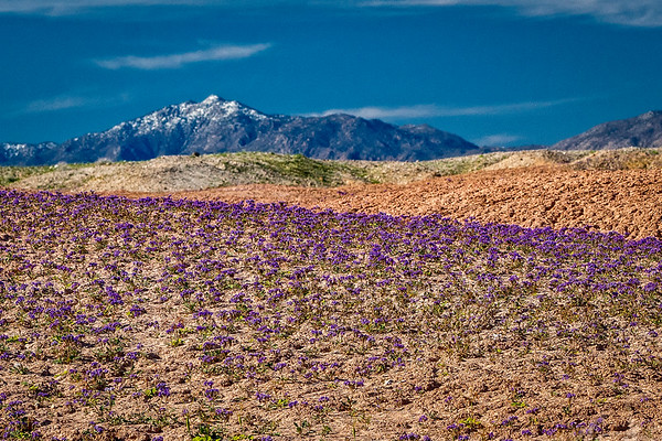 Flowers in desert badlands with snow on mountains