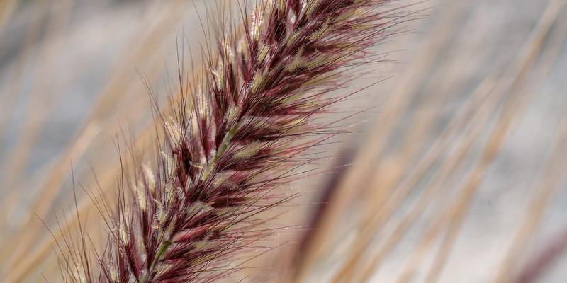 Feathergrass closeup in Anza Borrego Desert State Park