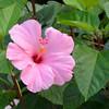 DSC_2661-Hibiscus