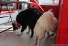 hckHowardPuppies (1)