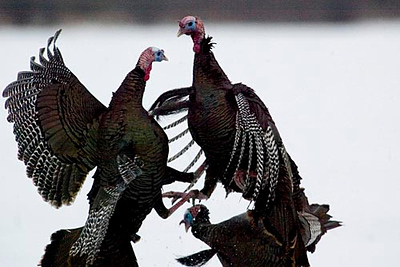 Record-Eagle photo/Jan-Michael Stump<br /> <br /> Turkeys fight alongside U.S. 127 just south of Ithaca on Sunday, March 2, 2008.