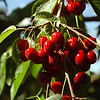 Record-Eagle/Tyler Sipe<br /> Near ripe cherries at Hoxsie's Farm Market in Acme Township.