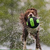 Record-Eagle/Jan-Michael Stump<br /> Brandi, a border collie owned by Jackie Sebastian of Valparaiso, Ind, shakes off water after taking a leap in the Ultimate Air Dogs competition.