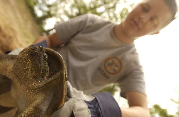 Record-Eagle/Garret Leiva<br /> Levi, a 20-year-old snapping turtle, was among the snakes and lizards at the nature station at Camp Greilick. Scouts could pursue 13 different merit badges related to nature and conservation, including animal studies, environmental science and archeology.