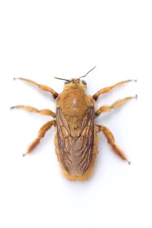 Male Valley Carpenter Bee (Xylocopa varipuncta)